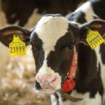 Rinderproduktion