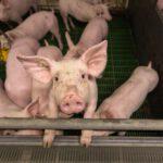 Schweineproduktion